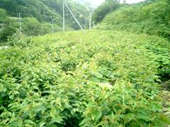 大島桜の畑です。