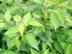 桜葉は食品なので農薬は最小限度しか散布しません。
